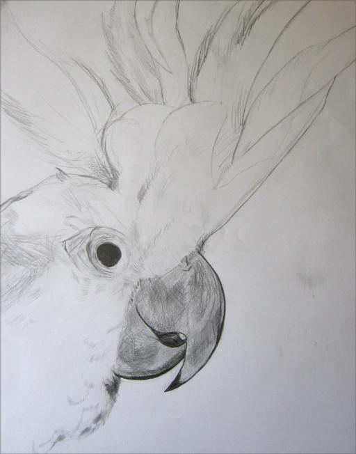 karyn - perroquet au crayon